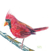 Cardinal Drawings Prints - Northern Cardinal Sketch Print by Tina McCurdy