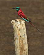 Northern Africa Posters - Northern Carmine Bee-eater Poster by Tony Beck