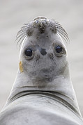 Animals And Earth Metal Prints - Northern Elephant Seal Looking Back Metal Print by Ingo Arndt