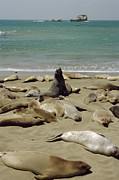 Harem Framed Prints - Northern Elephant Seals Framed Print by Diccon Alexander