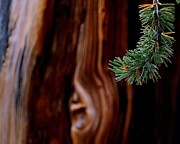 Fir Trees Metal Prints - Northern Exposure.. Metal Print by Al  Swasey