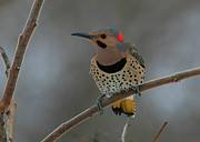 Flicker Framed Prints - Northern Flicker Framed Print by Bruce J Robinson