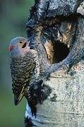 Singles Framed Prints - Northern Flicker Framed Print by Darwin Wiggett