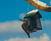 Fort Collins Photos - Northern Flicker by Harry Strharsky