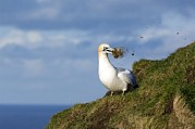 Gathering Photos - Northern Gannet by Duncan Shaw