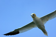 Seabirds Posters - Northern Gannet flying through blue skies Poster by Sami Sarkis