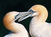 Animal Behavior Prints - Northern Gannet Pair Print by Colin Carter Photography
