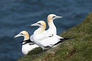 Breeding Posters - Northern Gannets Breeding Poster by Charlotte Main