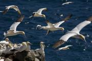 Natural Reserve Posters - Northern Gannets, Cape St. Marys Poster by John Sylvester