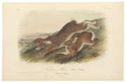 Hand Drawing Prints - Northern Hare Print by John James Audubon