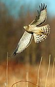 Nature Photo Art Prints - Northern Harrier Banking Print by William Jobes