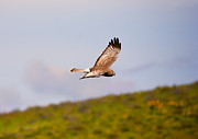Bank Photos - Northern Harrier Flight by Mike  Dawson