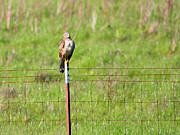 Hunt Acrylic Prints - Northern Harrier Marsh Hawk Perched on a Fence . 40D12029 Acrylic Print by Wingsdomain Art and Photography