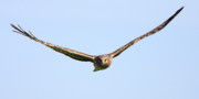 Wildlife Art - Northern Harrier Marsh Hawk With Spanned Wings . 40D12161 by Wingsdomain Art and Photography