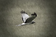 Tiana McVay - Northern Harrier