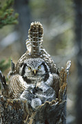 Mother Of Four Framed Prints - Northern Hawk Owl Surnia Ulula At Nest Framed Print by Michael Quinton