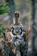 Frontal Metal Prints - Northern Hawk Owl Surnia Ulula Parent Metal Print by Michael Quinton