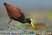 Lilly Pad Photos - Northern Jacana Foraging Costa Rica by Tim Fitzharris