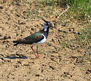 Lapwing Art - Northern Lapwing by Louise Heusinkveld