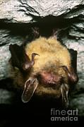 Northern Long-eared Bat Print by Dante Fenolio
