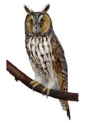 Wings Drawings - Northern long-eared owl Asio otus - Hibou moyen-duc - Buho chico - Hornuggla - Nationalpark Eifel by Urft Valley Art