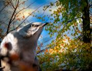 Wildlife Sunset Posters - Northern Mockingbird Autumns Shadows Poster by Bob Orsillo