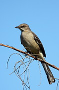 Mockingbird Framed Prints - Northern Mockingbird Framed Print by Bruce J Robinson