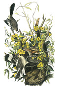 Mockingbird Paintings - Northern Mockingbird by John James Audubon
