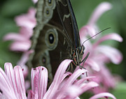 Butterfly House Prints - Northern Pearly-Eye on Pink Print by Bill Tiepelman