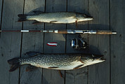 Pickerel Prints - Northern Pike, A Spinning Rod And Lure Print by Gordon Wiltsie