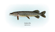Game Fish Drawings Framed Prints - Northern Pike Framed Print by Ralph Martens