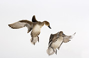 Landing Framed Prints - Northern Pintail Anas Acuta Duck Framed Print by Wim Weenink
