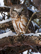 Kingston Framed Prints - Northern Saw-whet Owl Framed Print by Nina Stavlund