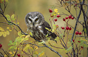 Saw Framed Prints - Northern Saw Whet Owl Perching Framed Print by Tim Fitzharris