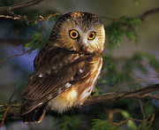 Owlet Photos - Northern Saw-whet Owl by Tony Beck