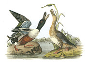 Ducks Paintings - Northern Shoveler by John James Audubon