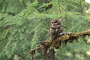 Frontal Metal Prints - Northern Spotted Owl Strix Occidentalis Metal Print by Gerry Ellis