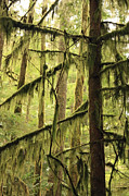 Rainforests Posters - Northwest Mossy Tree Poster by Carol Groenen