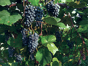 Grapes Photo Originals - Norton on the Vine by William Fields