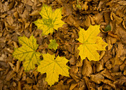 Forest Floor Prints - Norway Maple Leaves Print by Bob Gibbons
