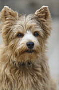 Dog Head Posters - Norwich Terrier Headshot Poster by Susan Stone