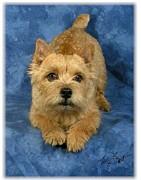 Norwich Terrier Pup Print by Maxine Bochnia