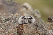 Hoary Prints - Nose to Nose Marmots Print by Tim Grams