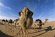 Camel Photos - Nose To Nose With A Camel, Carsten by Carsten Peter