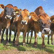 Library Digital Art - Nosy Heifers by Martin  Fry