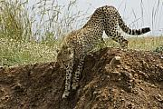 Cheetah Photos - Not as Easy as it Looks by Michele Burgess