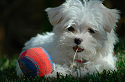Maltese Dogs Photos - Not Just Sugar and Spice by Lynn Bauer