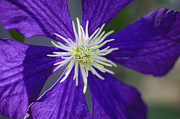 Clematis Framed Prints - Not Shy Framed Print by Rich Franco
