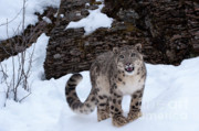 Snow Leopard Posters - Not Too Close -  Please Poster by Sandra Bronstein