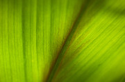 Abstract Leaf Prints - Not Vein Print by Rich Franco